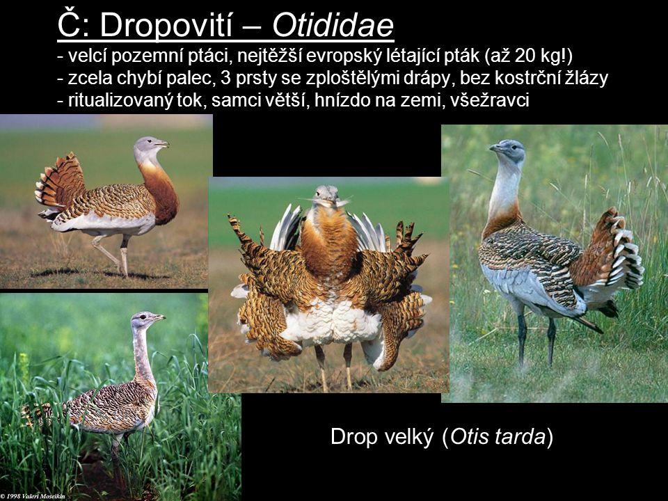 Č: Dropovití – Otididae - velcí pozemní ptáci, nejtěžší evropský létající pták (až 20 kg!) - zcela chybí palec, 3 prsty se zploštělými drápy, bez kostrční žlázy - ritualizovaný tok, samci větší, hnízdo na zemi, všežravci