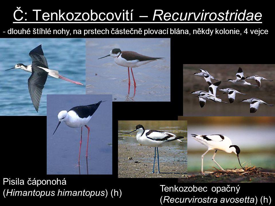 Č: Tenkozobcovití – Recurvirostridae