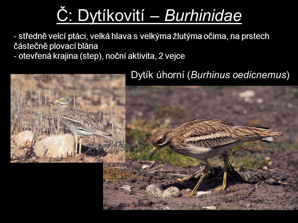 Č: Dytíkovití – Burhinidae