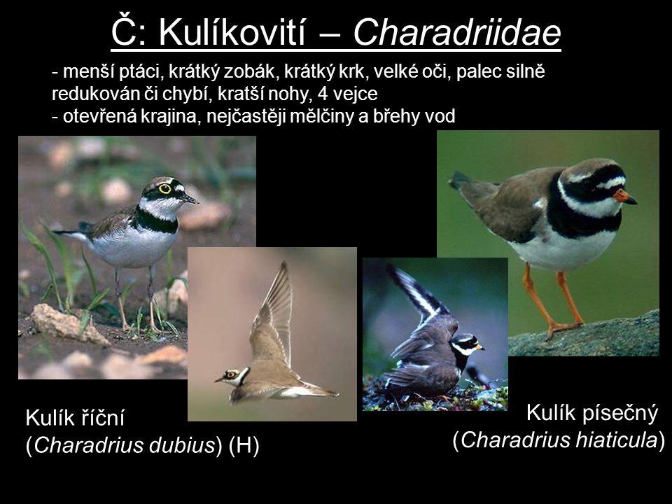Č: Kulíkovití – Charadriidae