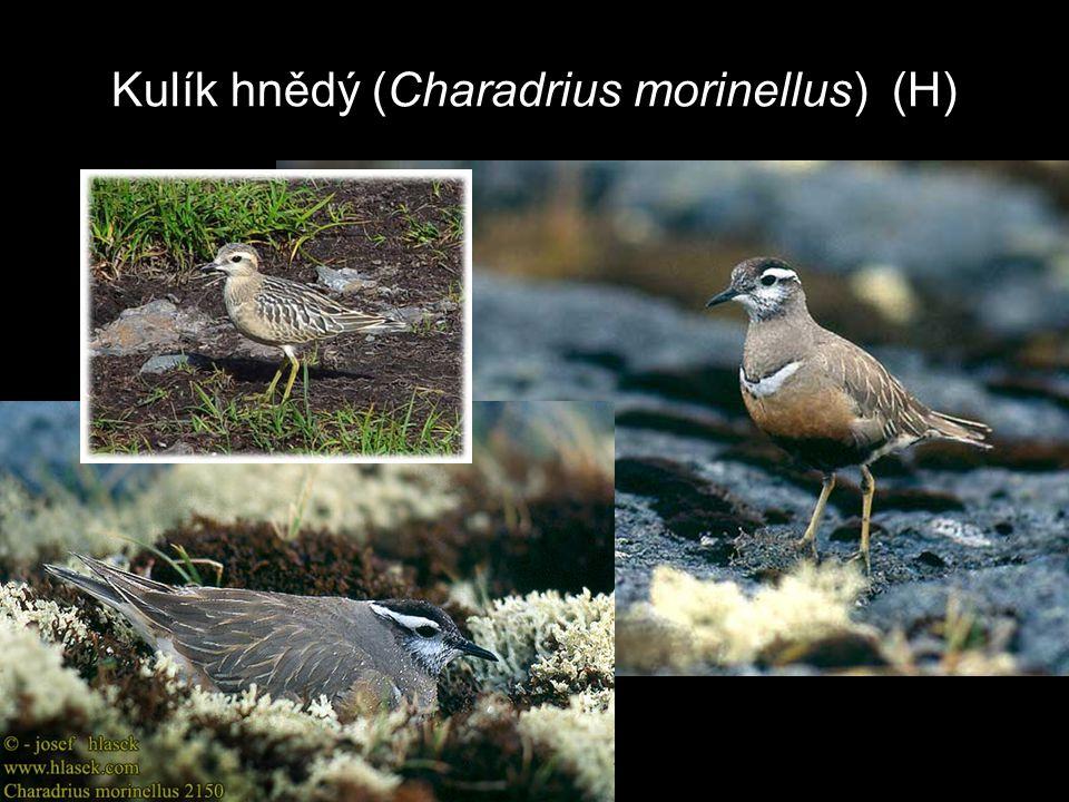 Kulík hnědý (Charadrius morinellus) (H)