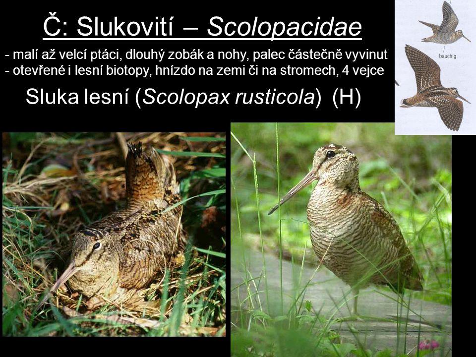 Č: Slukovití – Scolopacidae