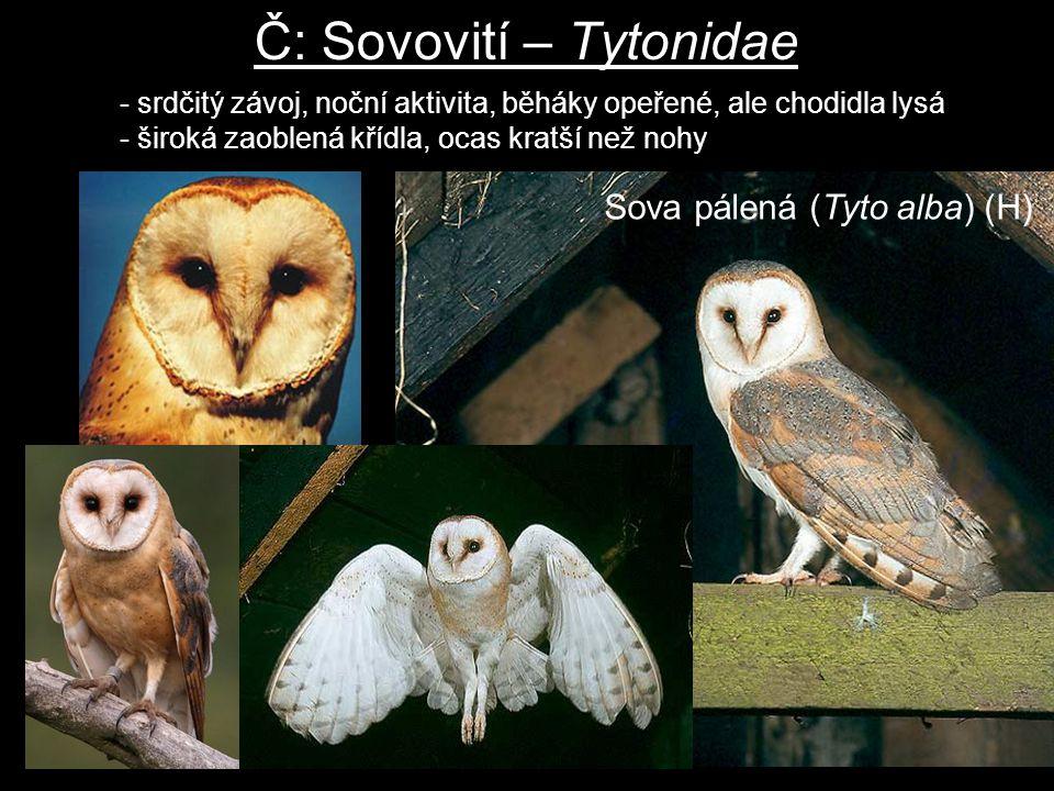Č: Sovovití – Tytonidae