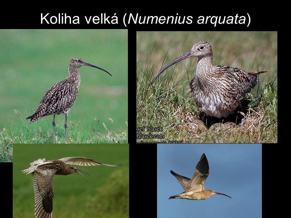 Koliha velká (Numenius arquata)
