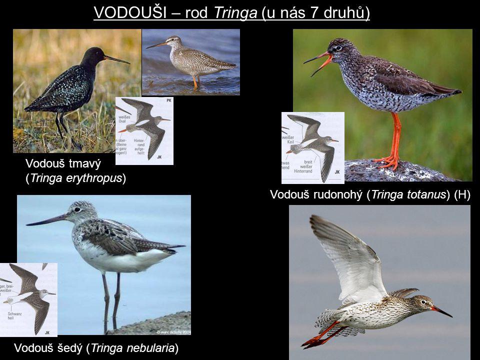 VODOUŠI – rod Tringa (u nás 7 druhů)