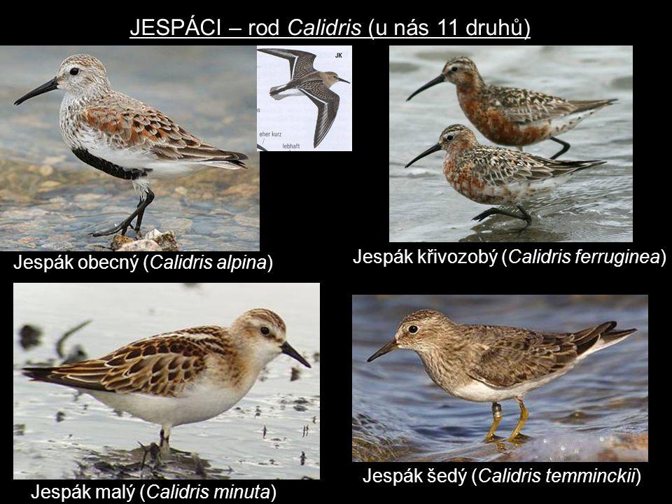 JESPÁCI – rod Calidris (u nás 11 druhů)