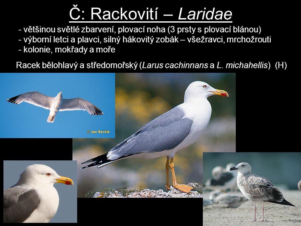 Č: Rackovití – Laridae většinou světlé zbarvení, plovací noha (3 prsty s plovací blánou)