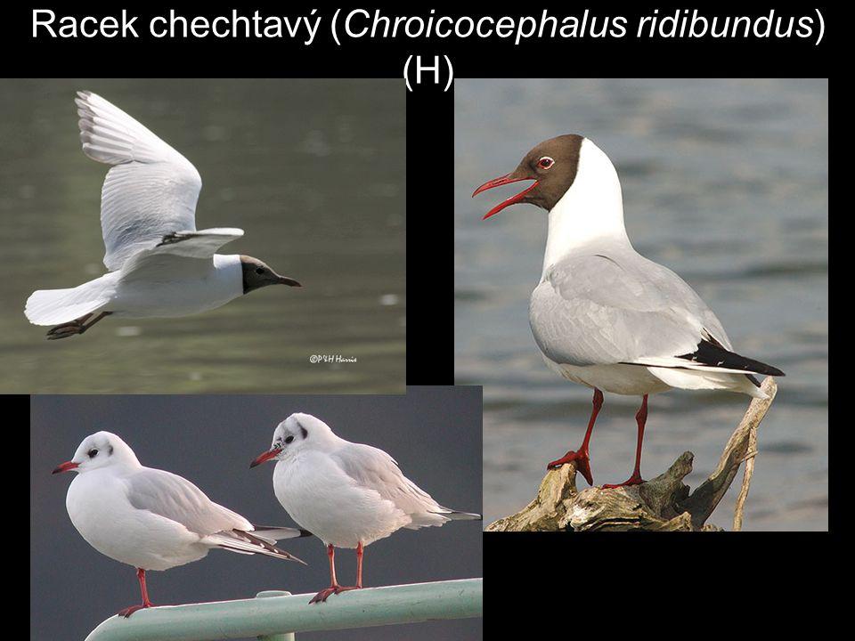 Racek chechtavý (Chroicocephalus ridibundus) (H)
