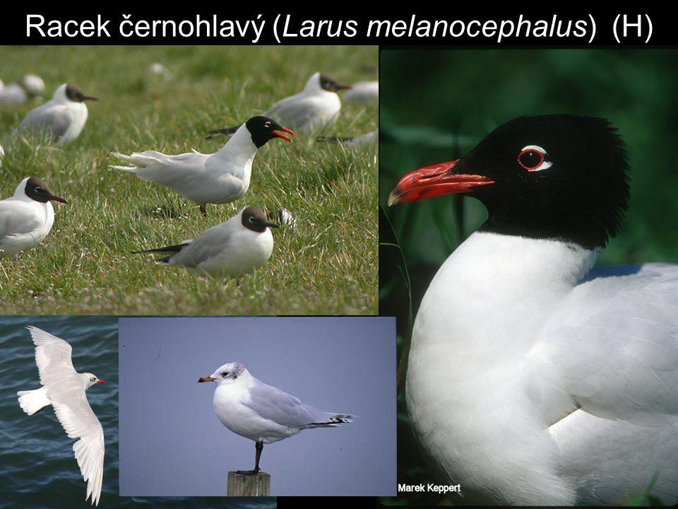 Racek černohlavý (Larus melanocephalus) (H)