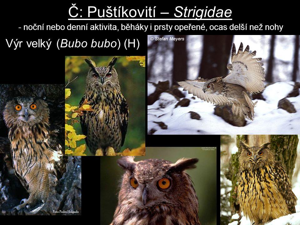 Č: Puštíkovití – Strigidae