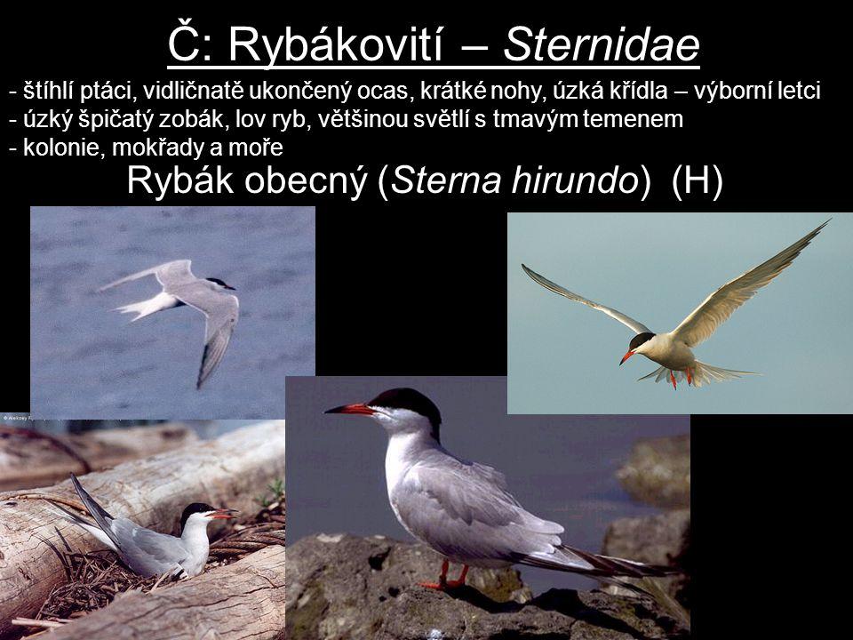 Č: Rybákovití – Sternidae