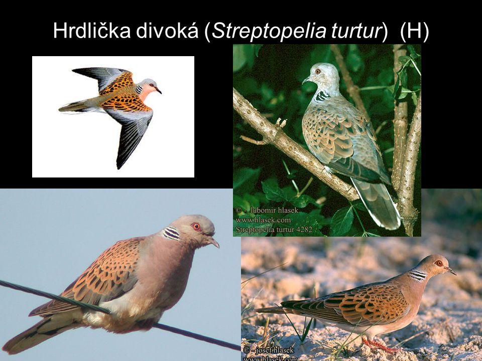 Hrdlička divoká (Streptopelia turtur) (H)