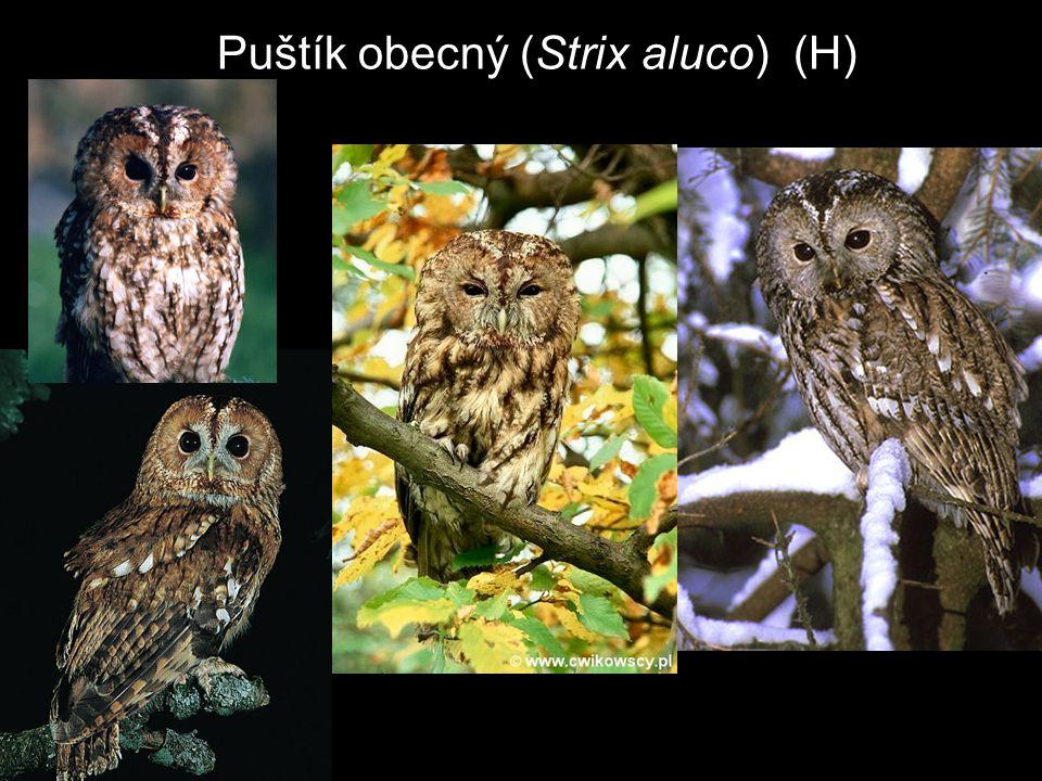 Puštík obecný (Strix aluco) (H)
