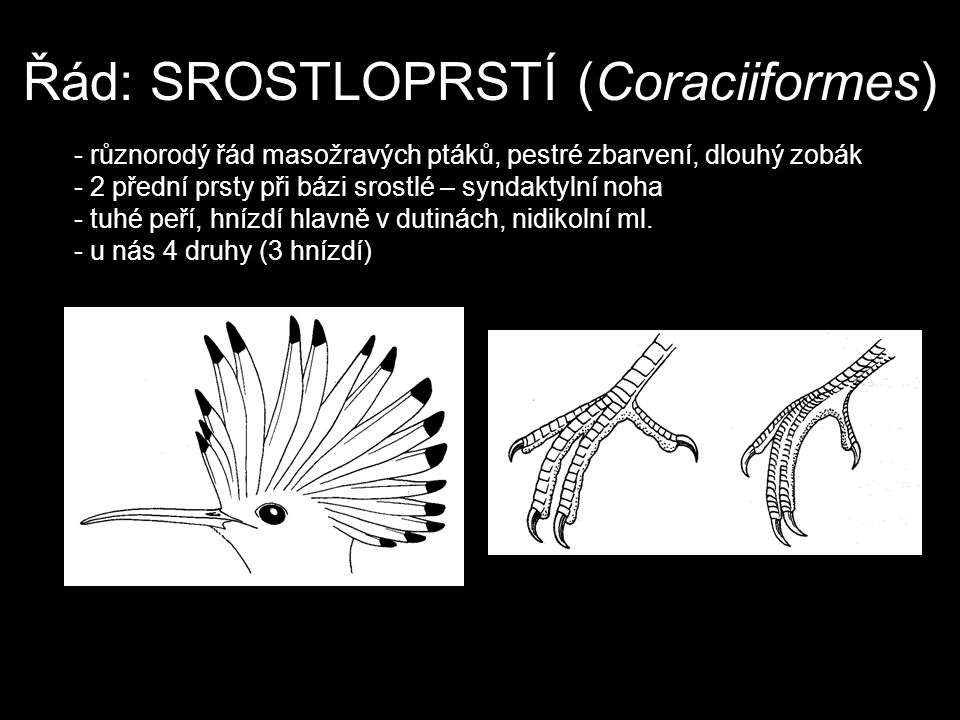 Řád: SROSTLOPRSTÍ (Coraciiformes)