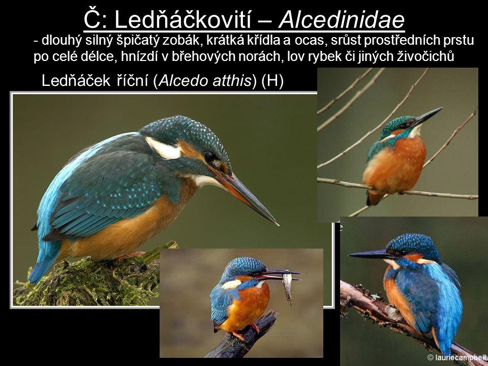 Č: Ledňáčkovití – Alcedinidae