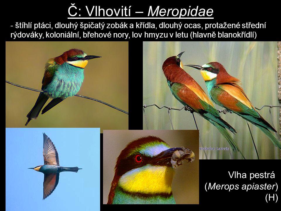Č: Vlhovití – Meropidae