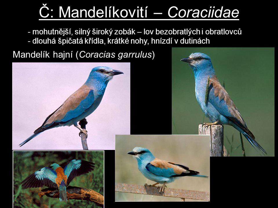 Č: Mandelíkovití – Coraciidae