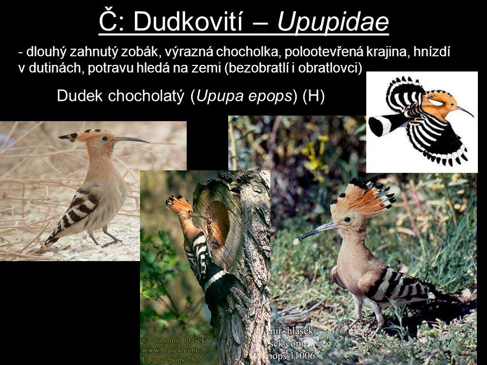 Č: Dudkovití – Upupidae