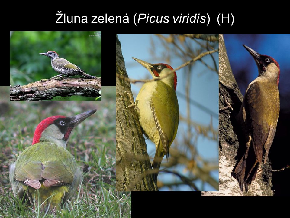 Žluna zelená (Picus viridis) (H)