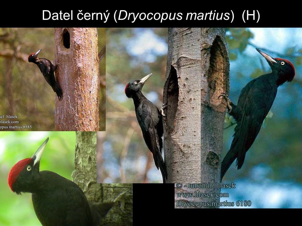 Datel černý (Dryocopus martius) (H)