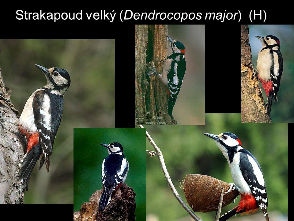 Strakapoud velký (Dendrocopos major) (H)