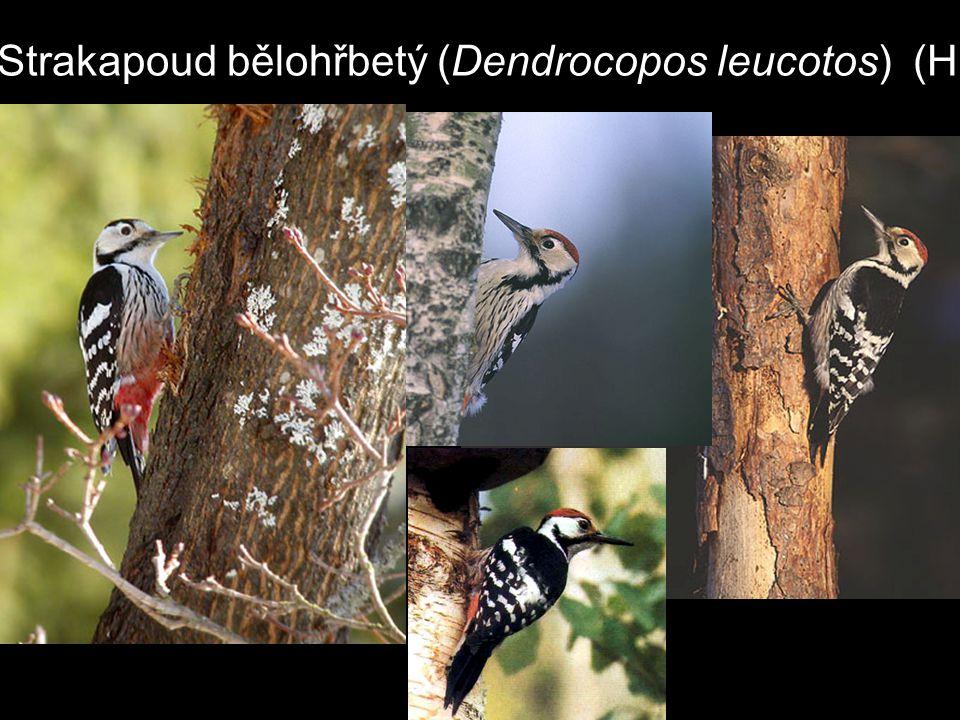 Strakapoud bělohřbetý (Dendrocopos leucotos) (H)
