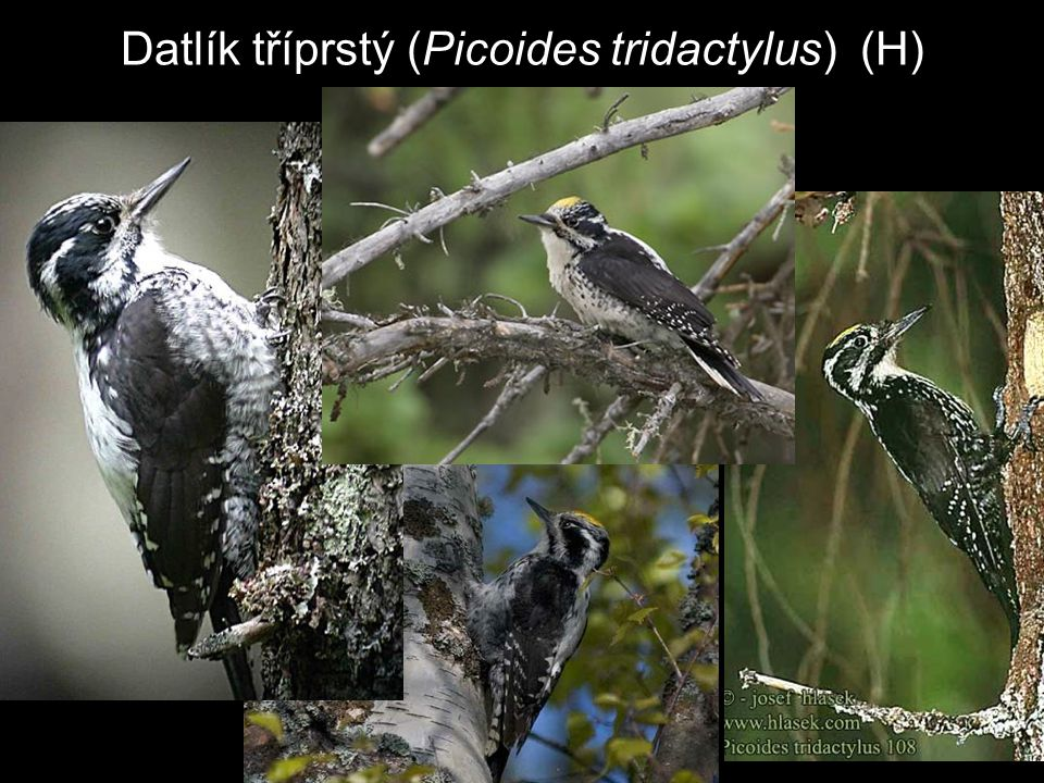 Datlík tříprstý (Picoides tridactylus) (H)