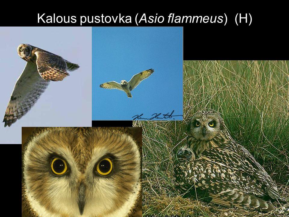 Kalous pustovka (Asio flammeus) (H)