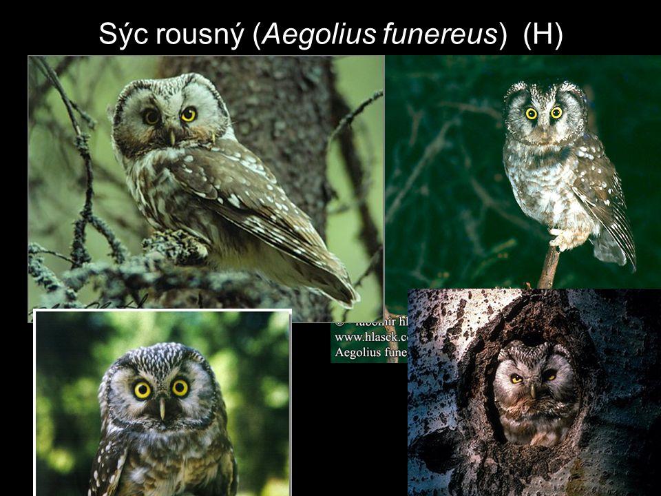 Sýc rousný (Aegolius funereus) (H)