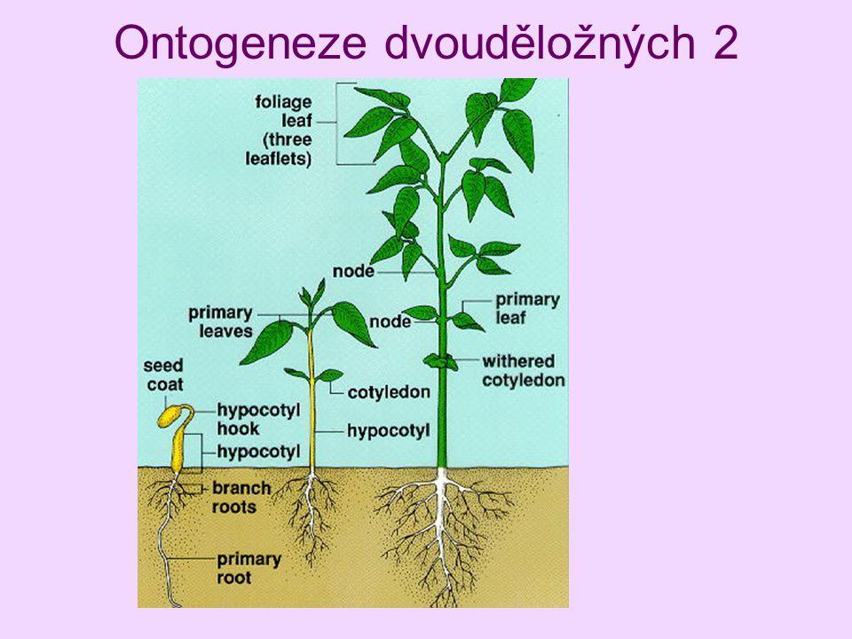 Ontogeneze dvouděložných 2