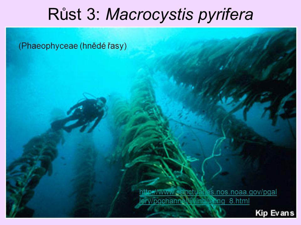 Růst 3: Macrocystis pyrifera