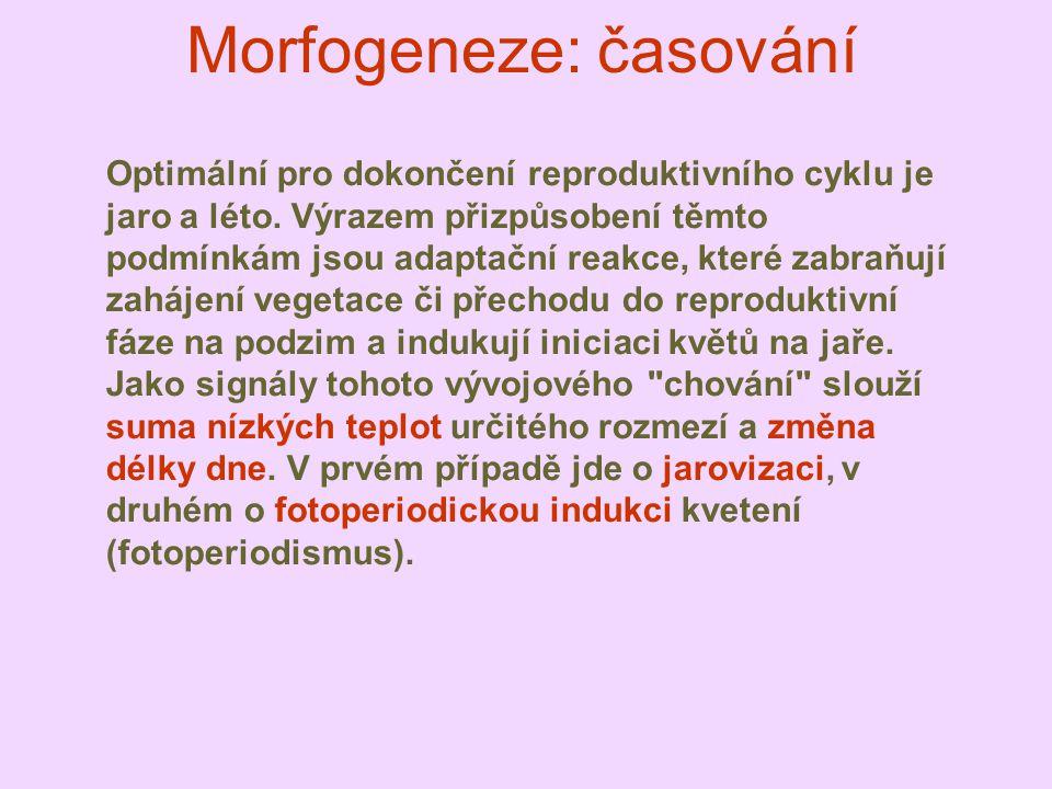 Morfogeneze: časování