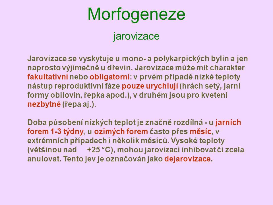 Morfogeneze jarovizace