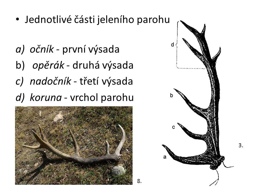 Jednotlivé části jeleního parohu očník - první výsada