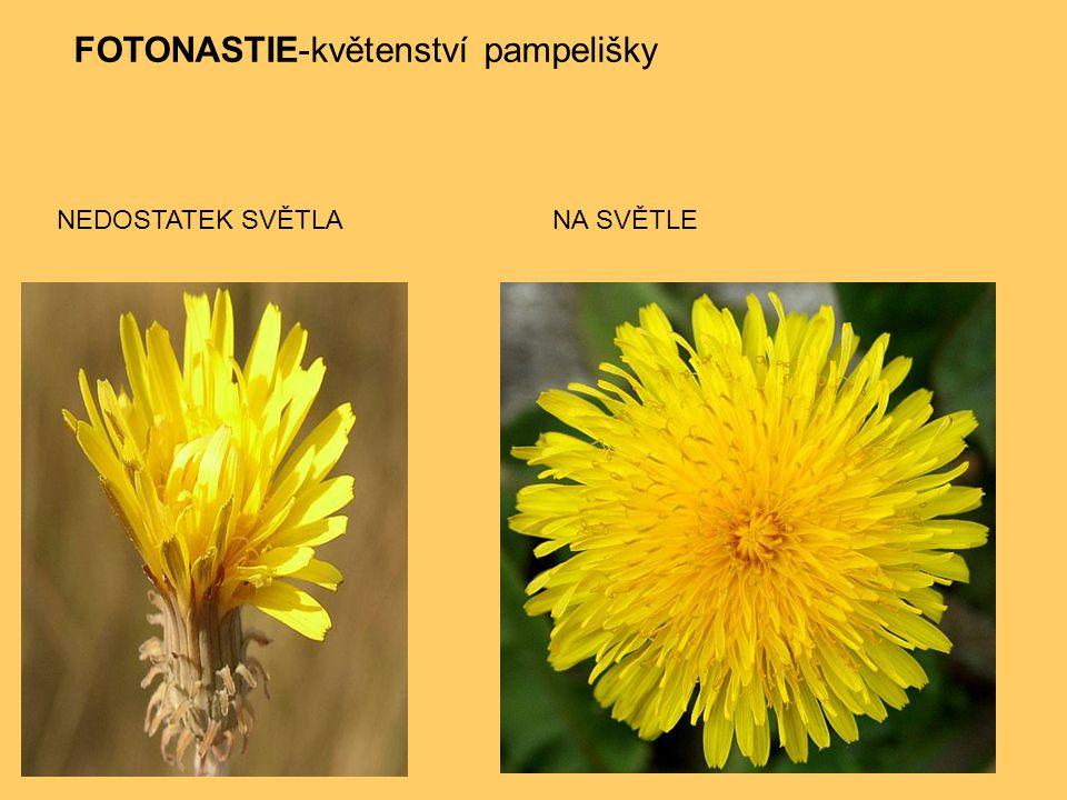 FOTONASTIE-květenství pampelišky