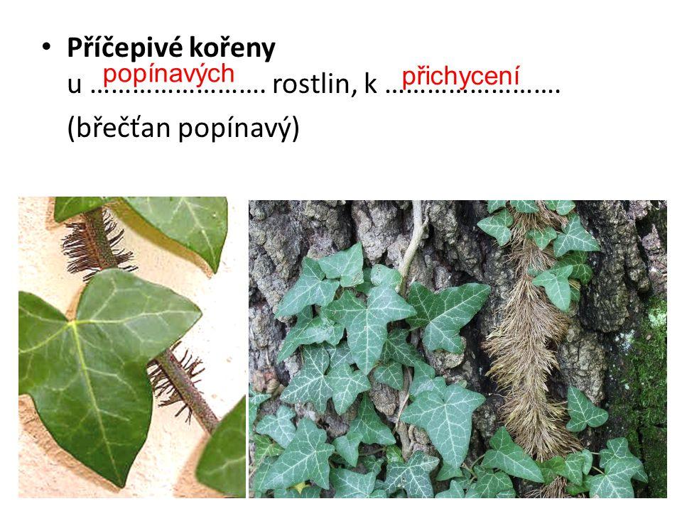 Příčepivé kořeny u ……………………. rostlin, k ……………………. (břečťan popínavý)