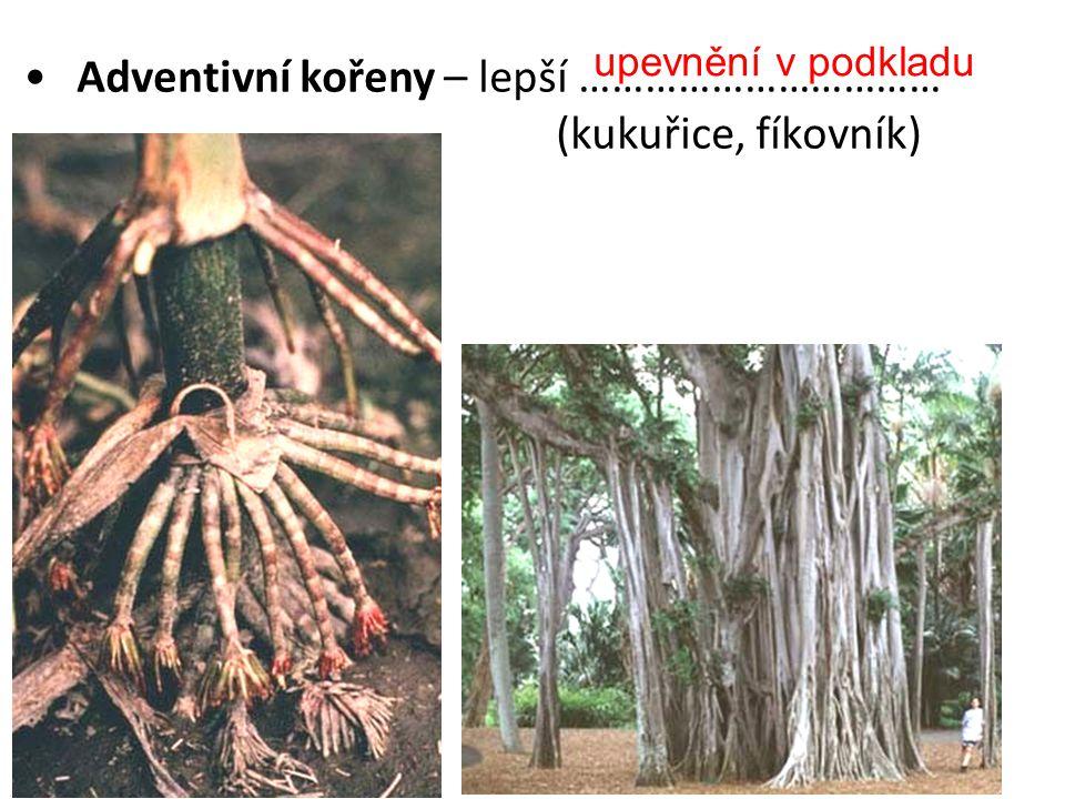 Adventivní kořeny – lepší …………………………… (kukuřice, fíkovník)