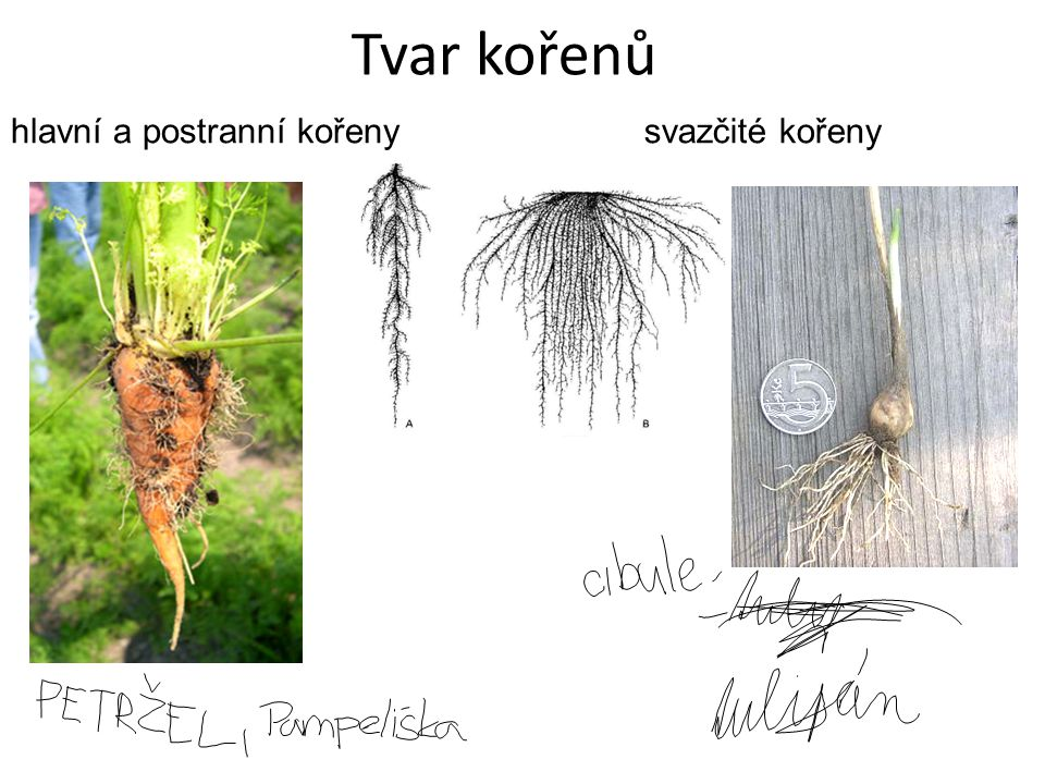 Tvar kořenů hlavní a postranní kořeny svazčité kořeny