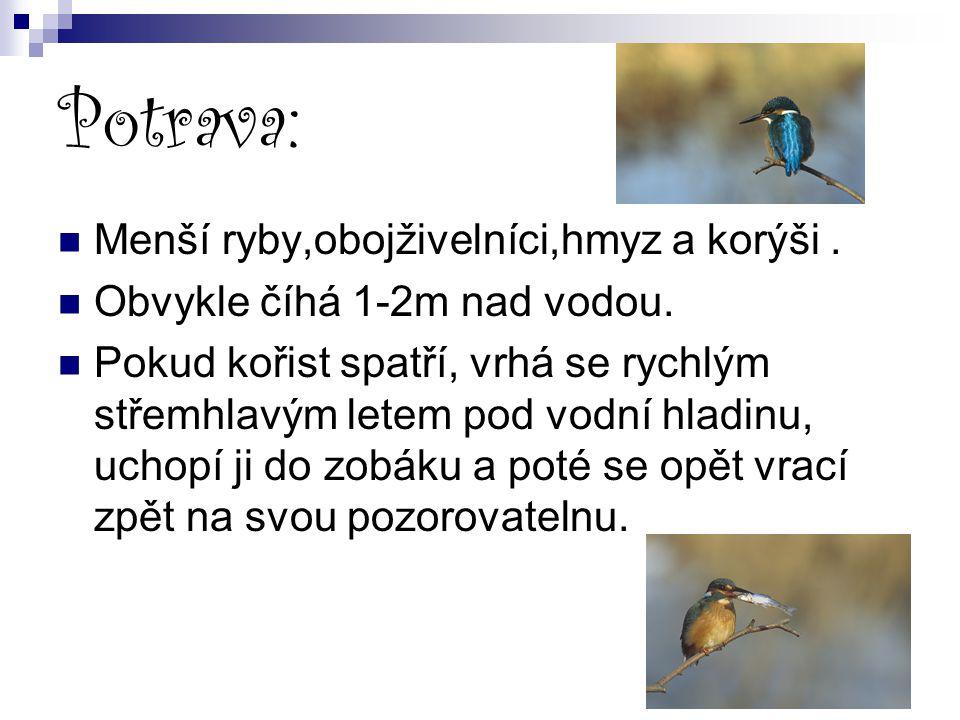 Potrava: Menší ryby,obojživelníci,hmyz a korýši .