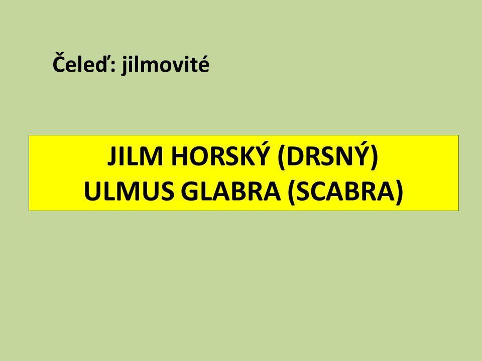 JILM HORSKÝ (DRSNÝ) ULMUS GLABRA (SCABRA)