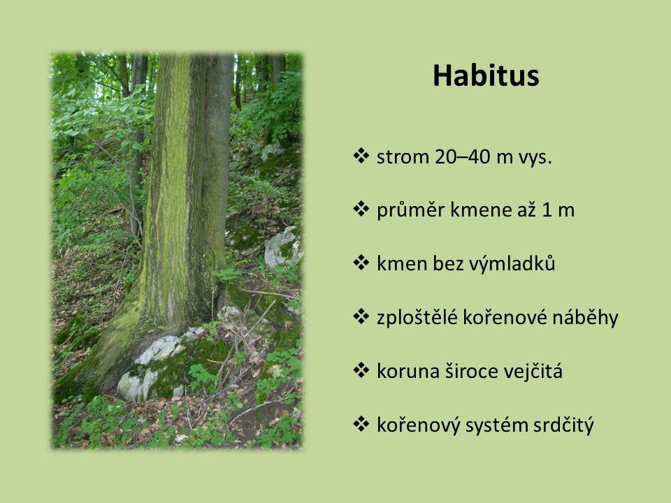 Habitus strom 20–40 m vys. průměr kmene až 1 m kmen bez výmladků