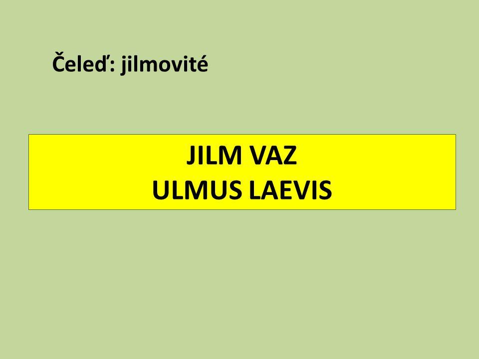 Čeleď: jilmovité JILM VAZ ULMUS LAEVIS