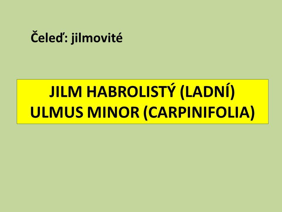 JILM HABROLISTÝ (LADNÍ) ULMUS MINOR (CARPINIFOLIA)