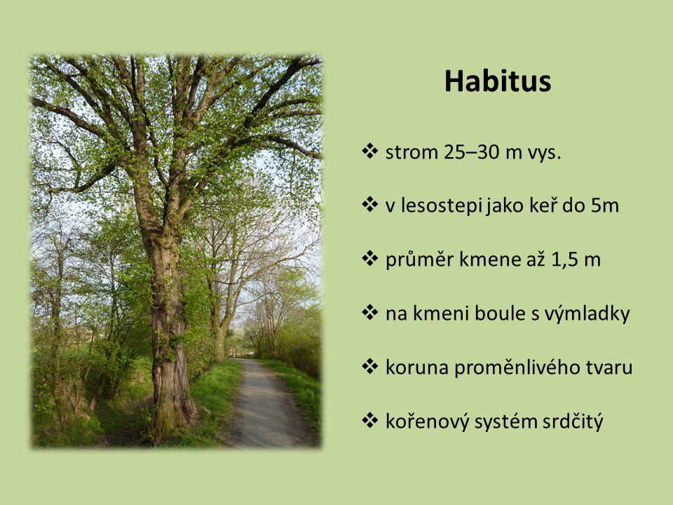 Habitus strom 25–30 m vys. v lesostepi jako keř do 5m