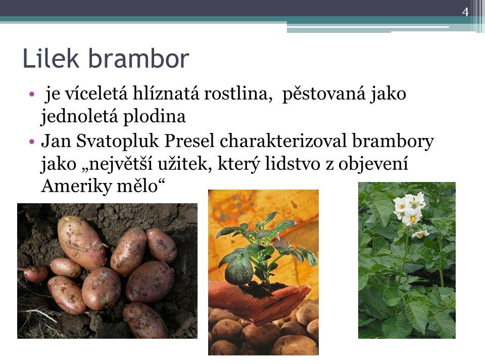 Lilek brambor je víceletá hlíznatá rostlina, pěstovaná jako jednoletá plodina.