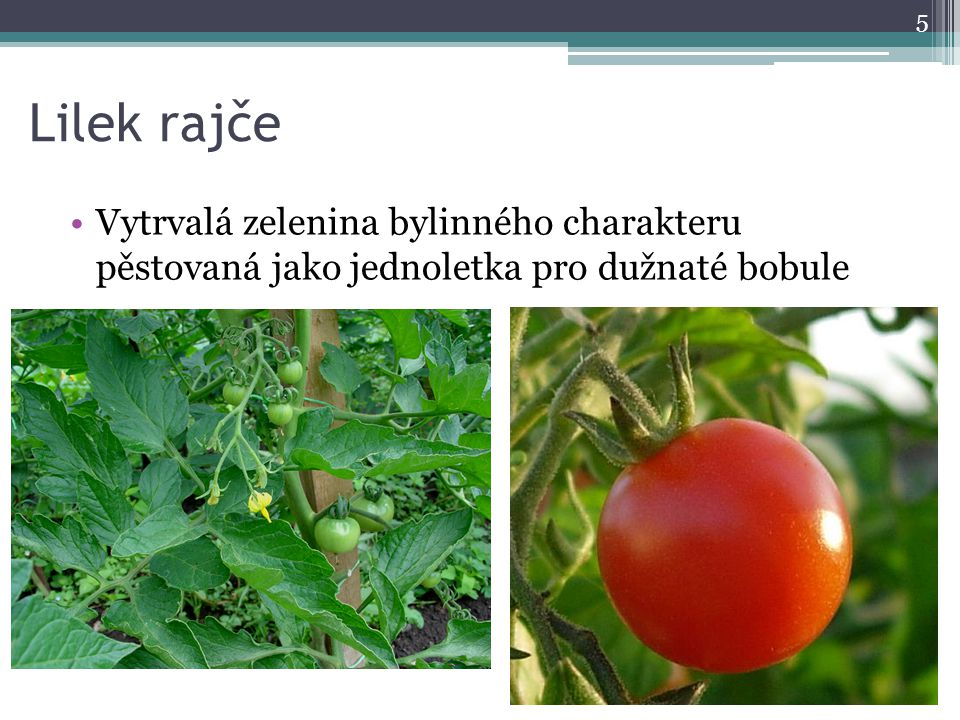 Lilek rajče Vytrvalá zelenina bylinného charakteru pěstovaná jako jednoletka pro dužnaté bobule