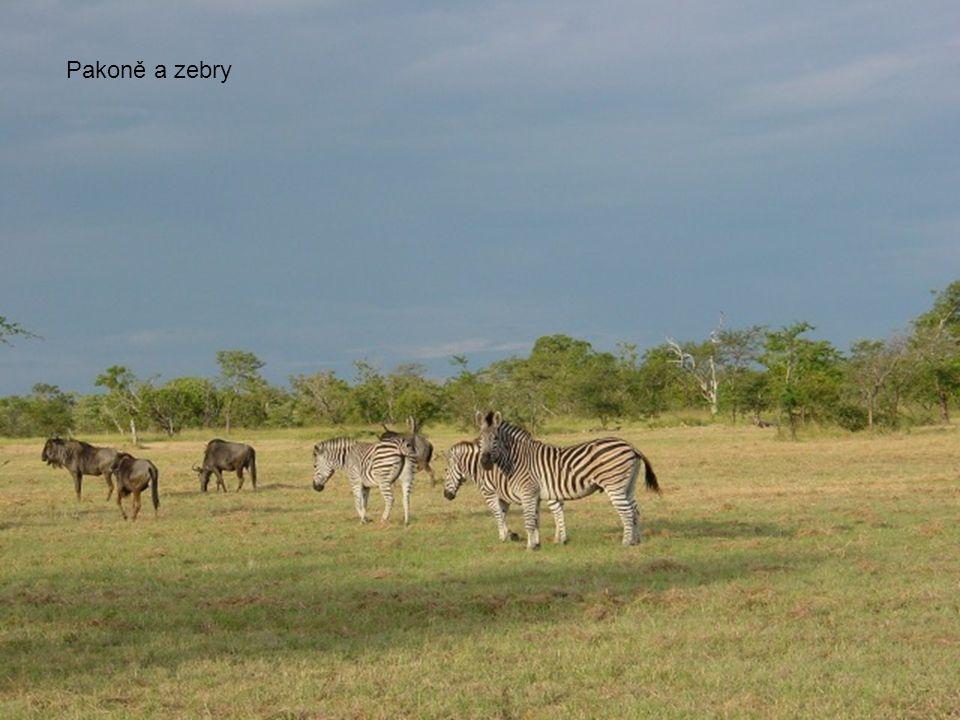 Pakoně a zebry
