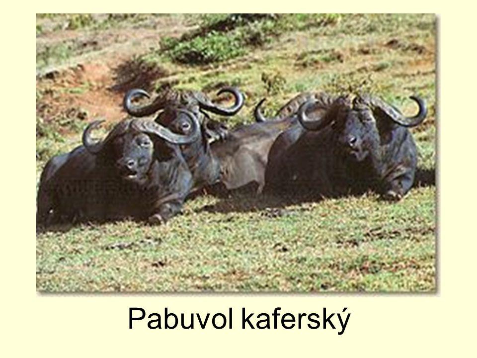 Pabuvol kaferský