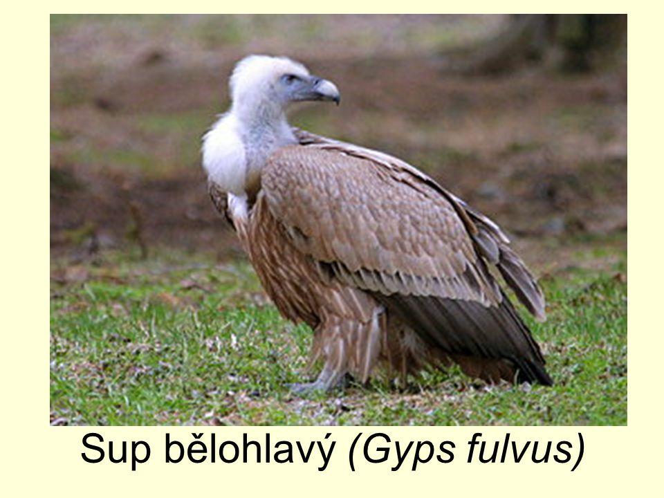 Sup bělohlavý (Gyps fulvus)