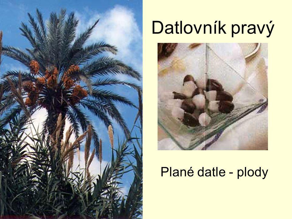 Datlovník pravý Plané datle - plody